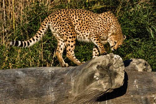 cheetah573