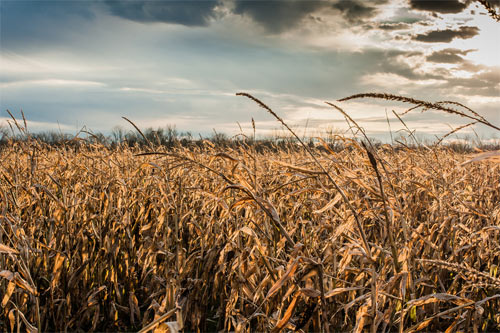 a blustery day in the cornfield