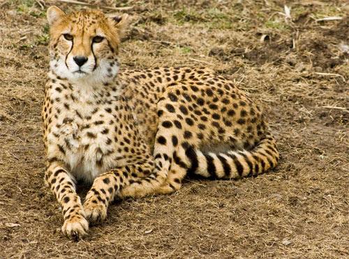 cheetah79