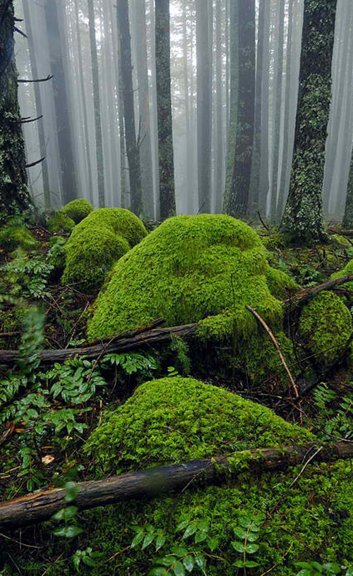 Mossy Foggy Forest