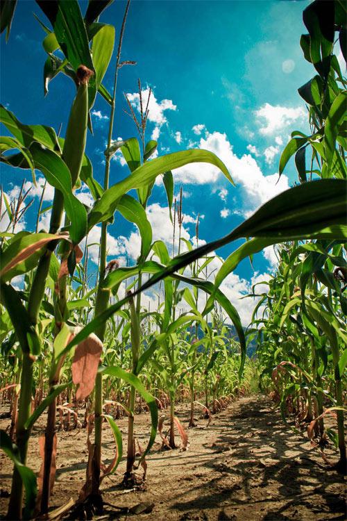 cornfield II