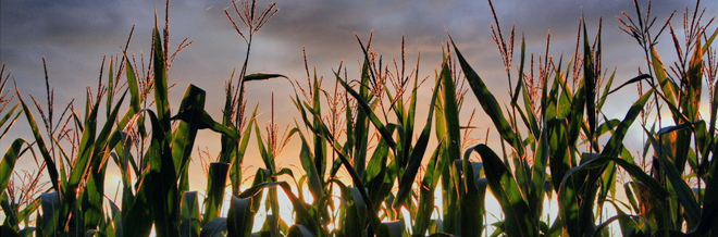 30 Awesome Cornfield Pictures for your Inspiration