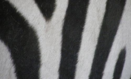 zebra print texture