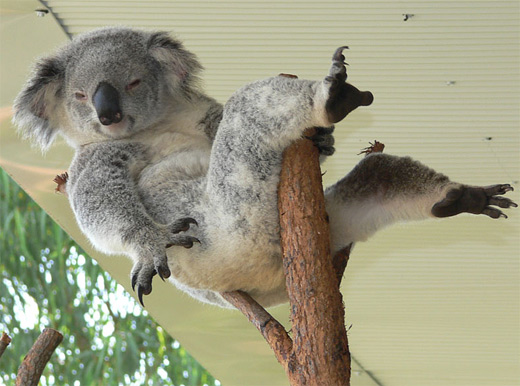 Relaxing koala koala photography
