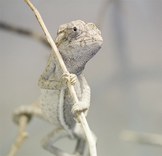 White chameleon photography