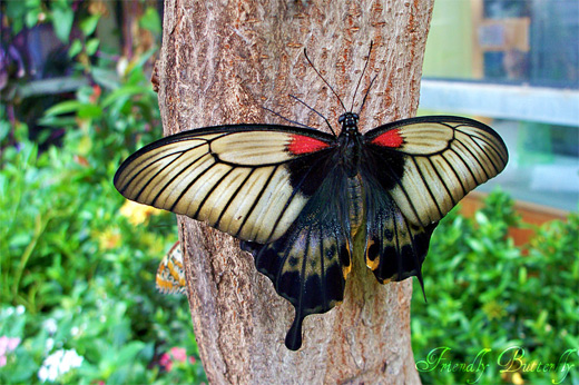 Black red spot butterfly photography