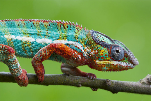 Blue green chameleon photography