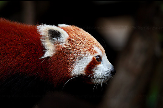 Sharp red panda photography