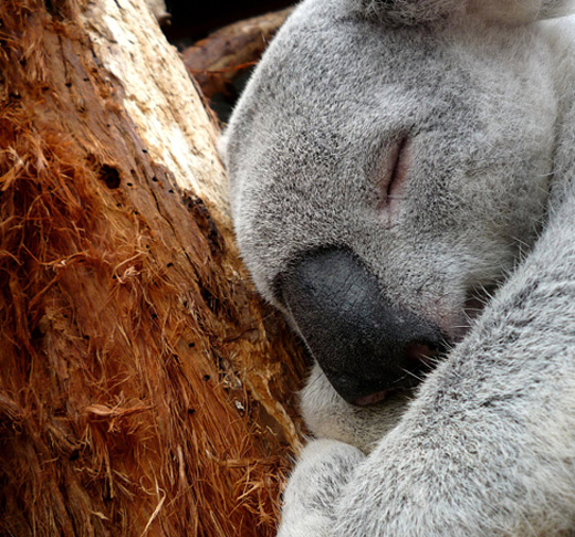 Sleeping cute koala photography