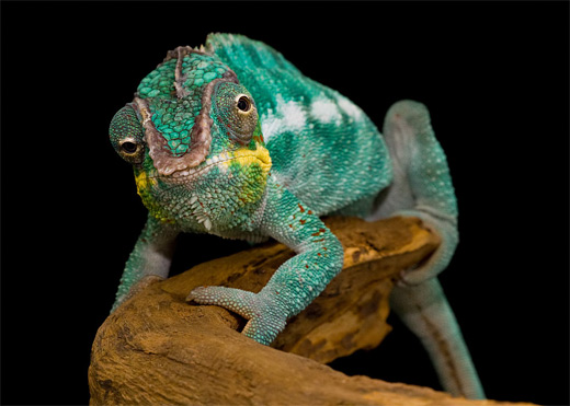 Cute chameleon photography