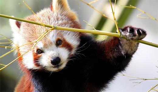 Posing red panda photography