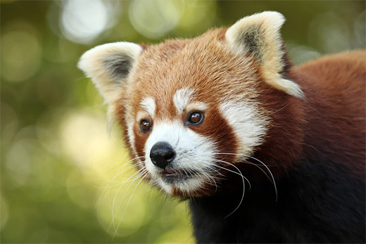 Cute close up red panda photography