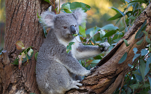 Eating leaves leaf koala photography