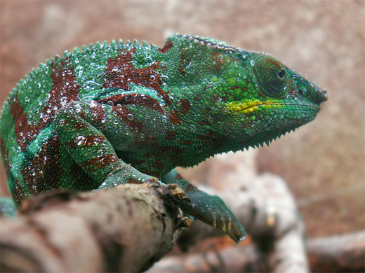 Green red chameleon photography
