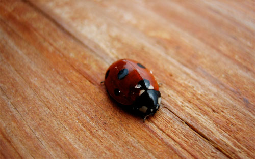 Lady Bug on wood wallpaper