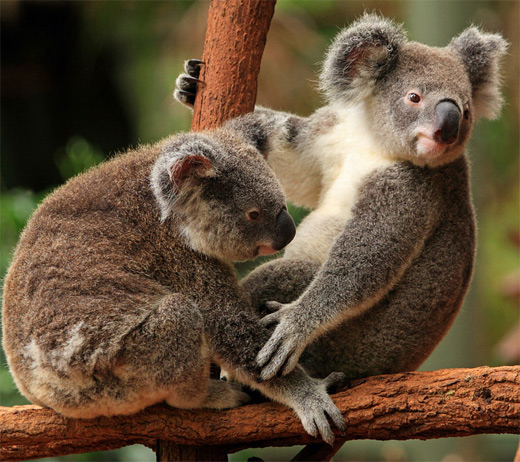 Couple koala photography