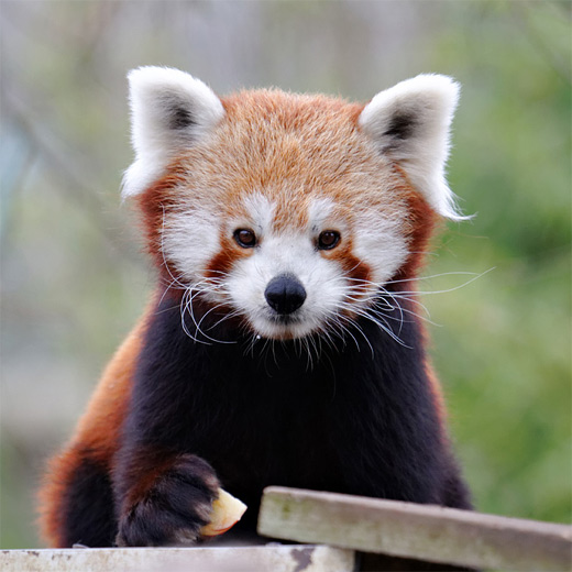 Lovely cute red panda photography