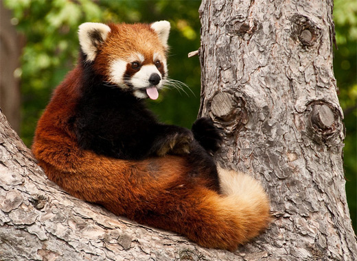 Tongue out cute red panda photography