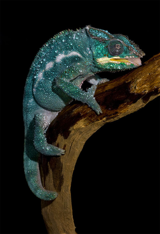 Blue drinking chameleon photography