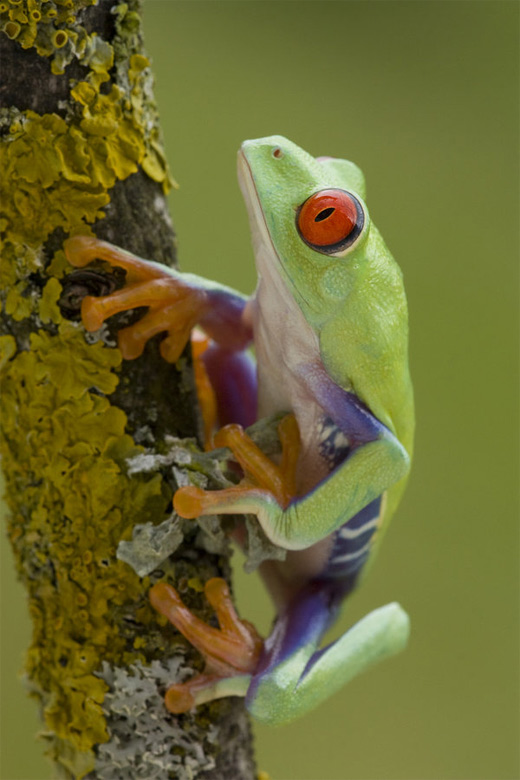 Red eye tree frog photography
