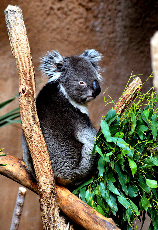 Sitting vibrant color koala photography
