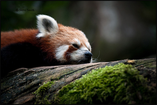 Sleepy red panda photography