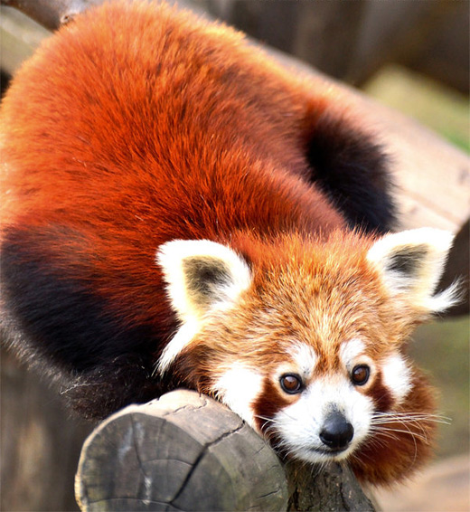 Cute posing red panda photography