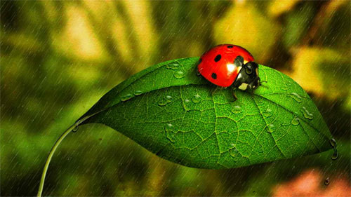 Ladybug in the Rain wallpaper