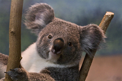 Smiling koala photography