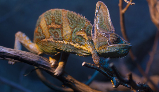 Veiled chameleon photography