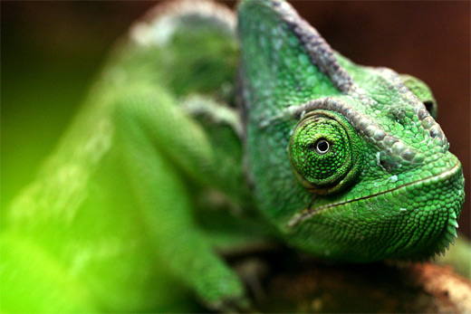 Close up green chameleon photography