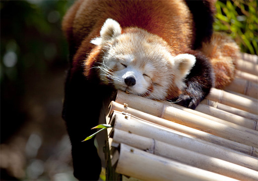 Hands handle sleeping red panda photography