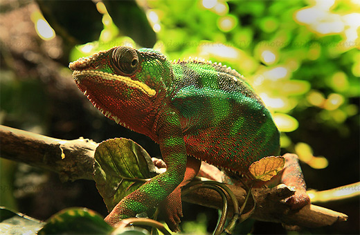 Green red stripe chameleon photography