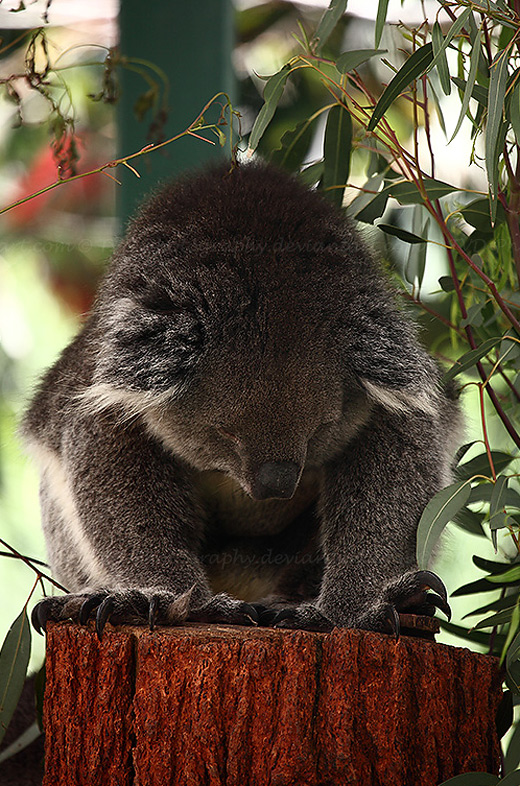Lonely sad koala photography