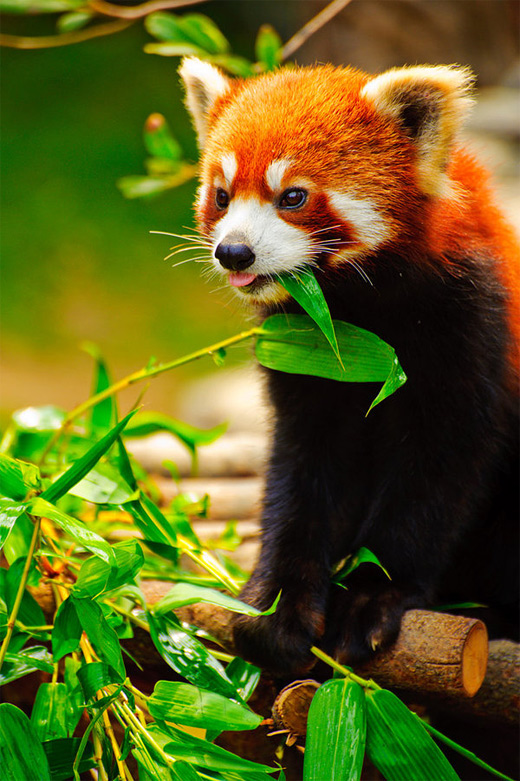 Tongue out eating red panda photography
