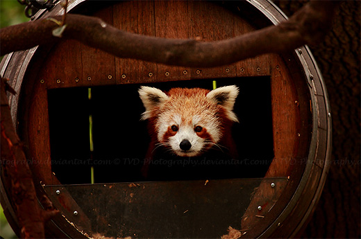 Peeking red panda photography