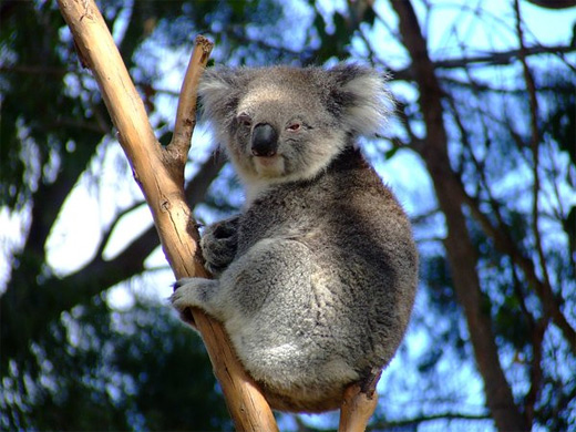 Sitting tree koala photography