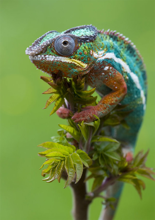 Colorful chameleon photography