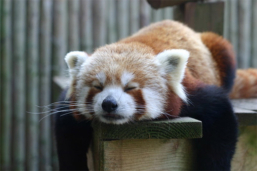 Sleeping red panda photography