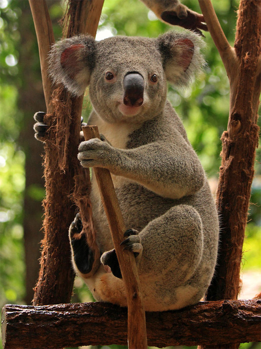 Tree cute koala photography