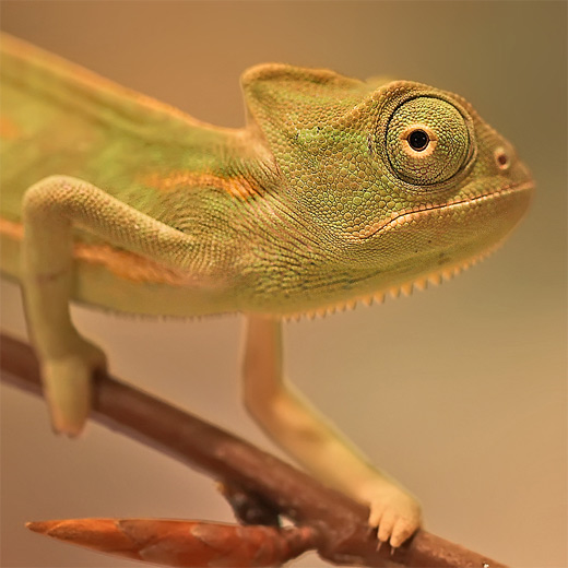 Brown chameleon photography