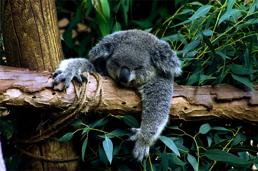 lazy sleeping koala photography