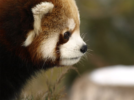 Thinking deep red panda photography