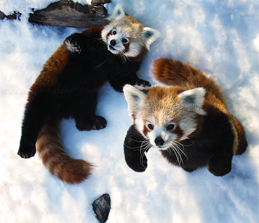 couple snow cute playing red panda photography