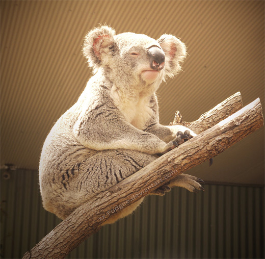 Sunbathing koala photography