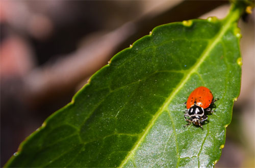 Ladybug on Nectarine Leaf wallpaper