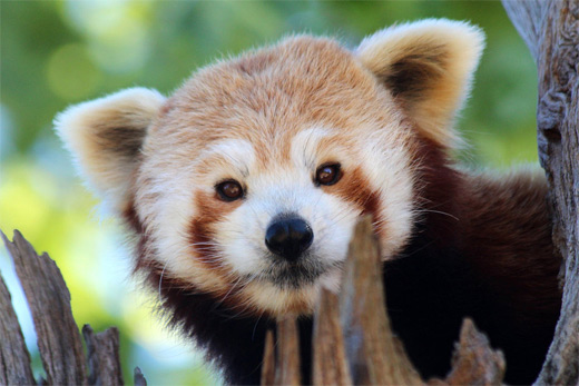 Face red panda photography