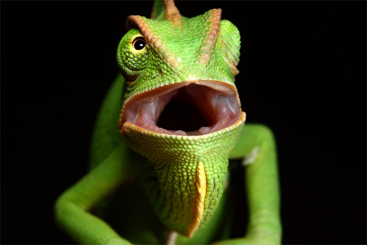 Green open mouth chameleon photography