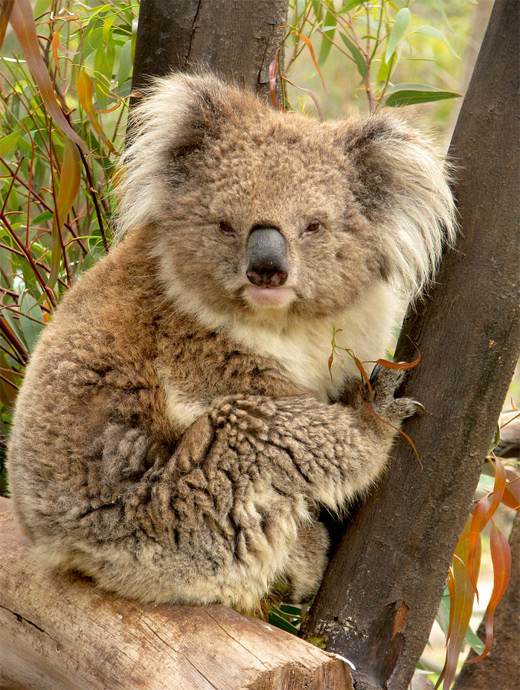 Shaggy furry koala photography
