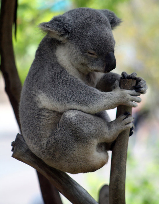 Balance sleeping koala photography